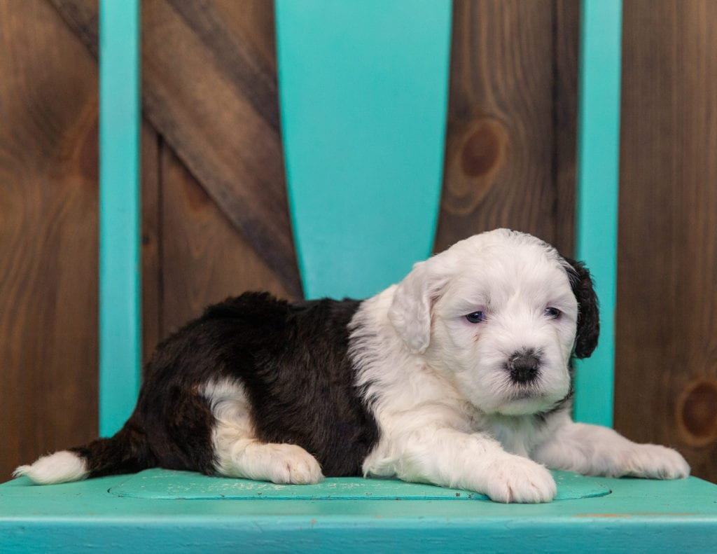 A picture of a Emma, one of our Mini Sheepadoodles puppies that went to their home in Wisconsin