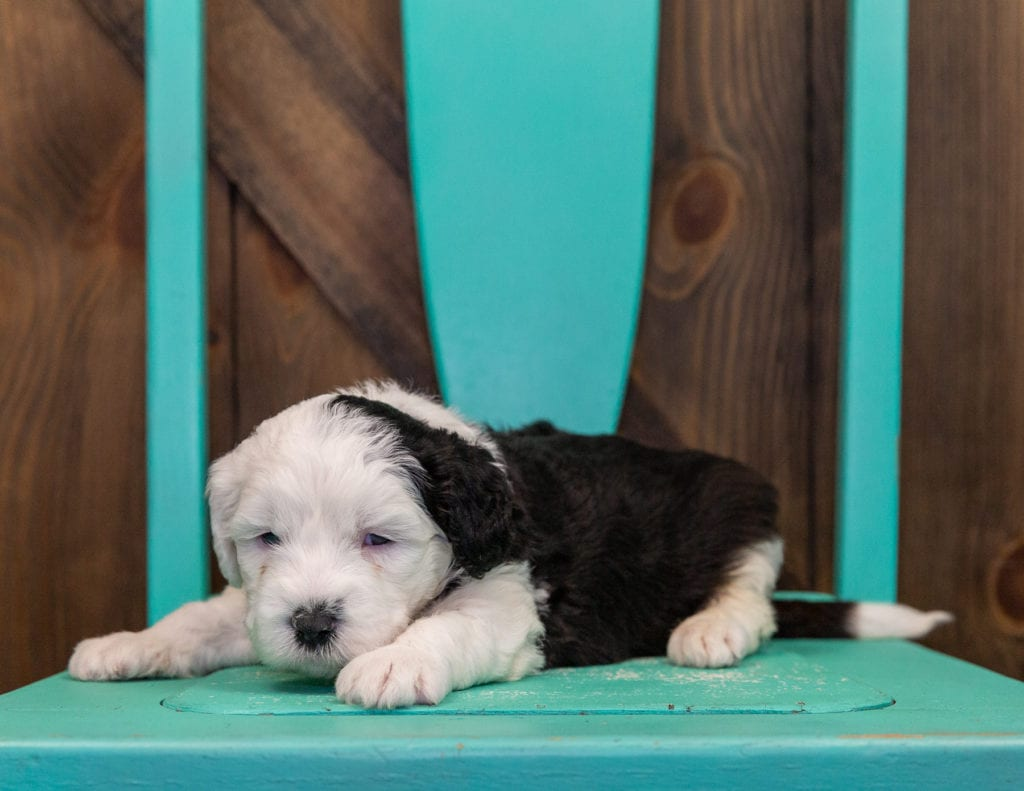 Emma is an F1 Sheepadoodle that should have  and is currently living in Wisconsin