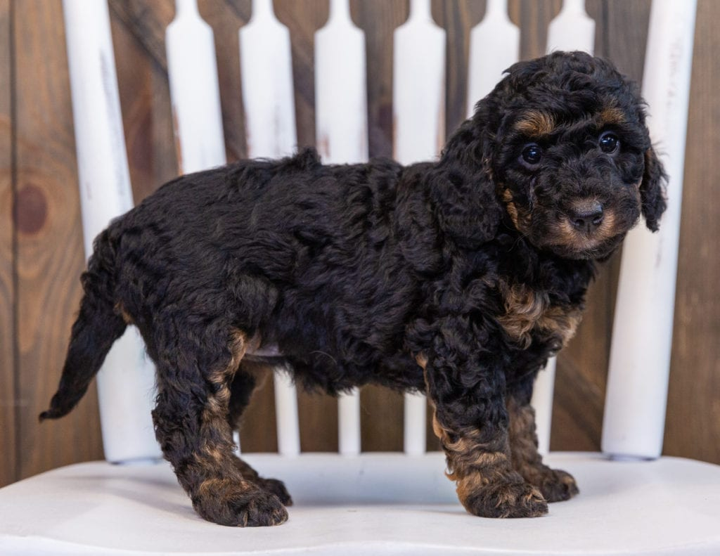 A picture of a Fairy, one of our Petite Bernedoodles for sale