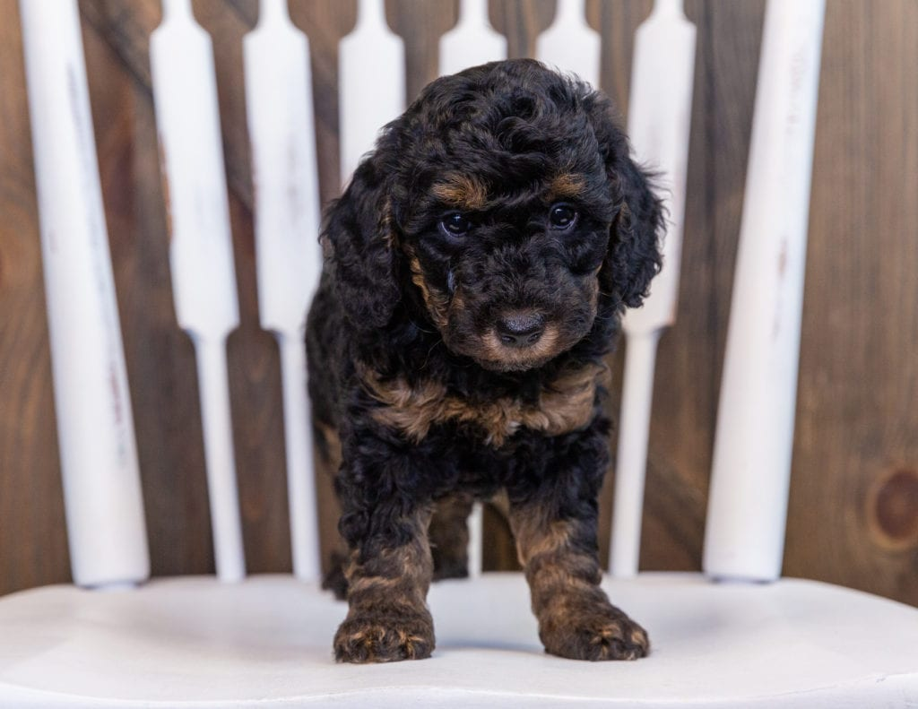 Fairy came from Raven and Ozzy's litter of F1BB Bernedoodles