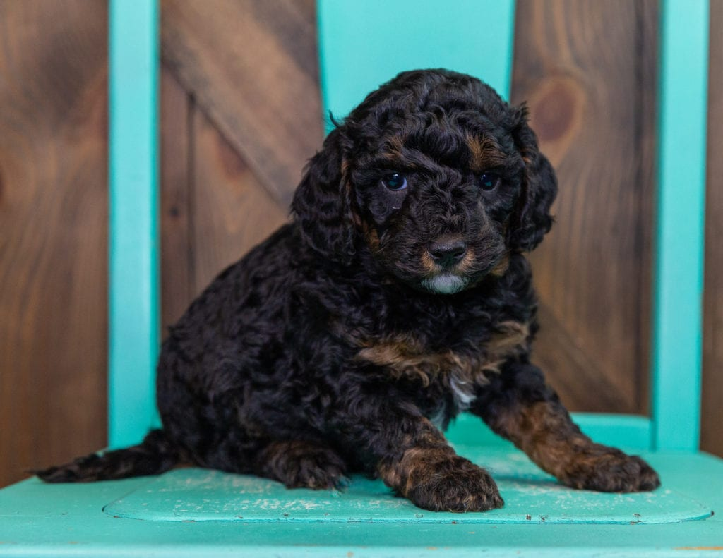 A picture of a Flyer, one of our Petite Bernedoodles for sale