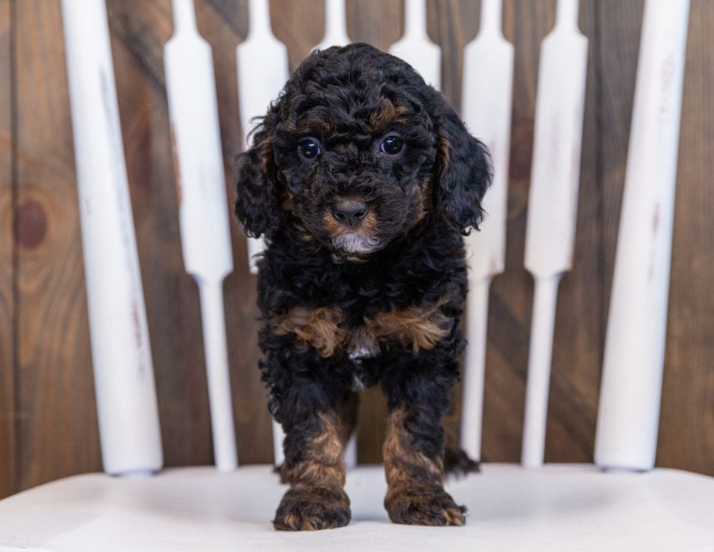 Flyer came from Raven and Ozzy's litter of F1BB Bernedoodles