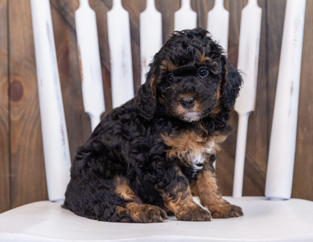 A picture of a Fritz, one of our Petite Bernedoodles for sale