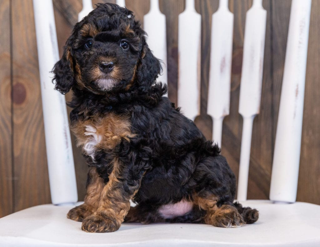 Fritz is an F1BB Bernedoodle.
