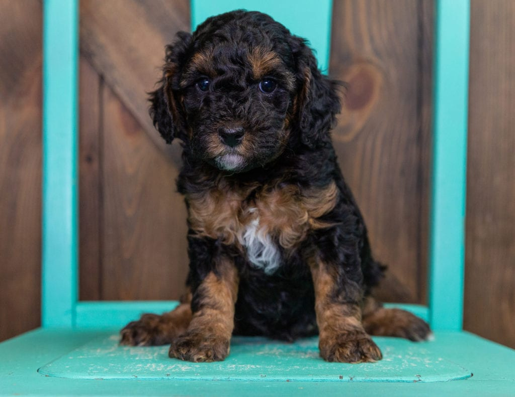 Fritz came from Raven and Ozzy's litter of F1BB Bernedoodles