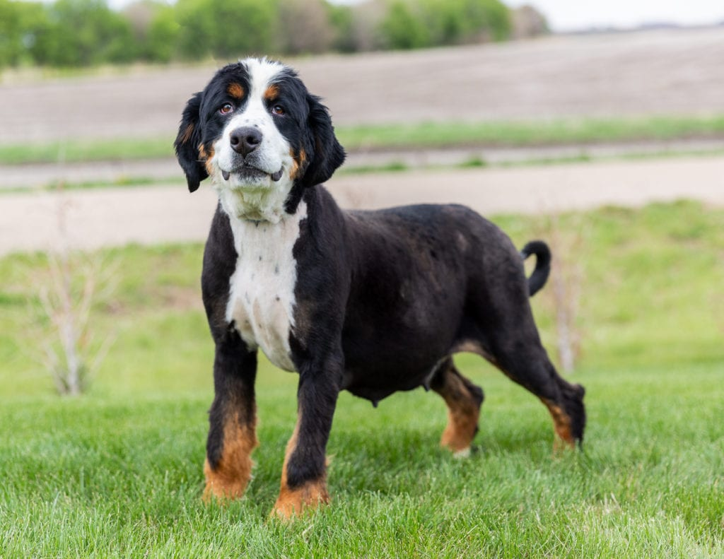 A picture of one of our Bernese Mountain Dog mother's, Della.