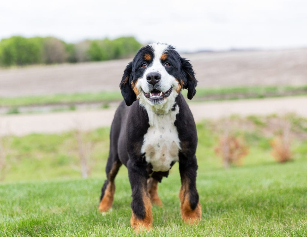 Della is an  Bernese Mountain Dog and a mother here at Poodles 2 Doodles, Sheepadoodle and Bernedoodle breeder from Iowa