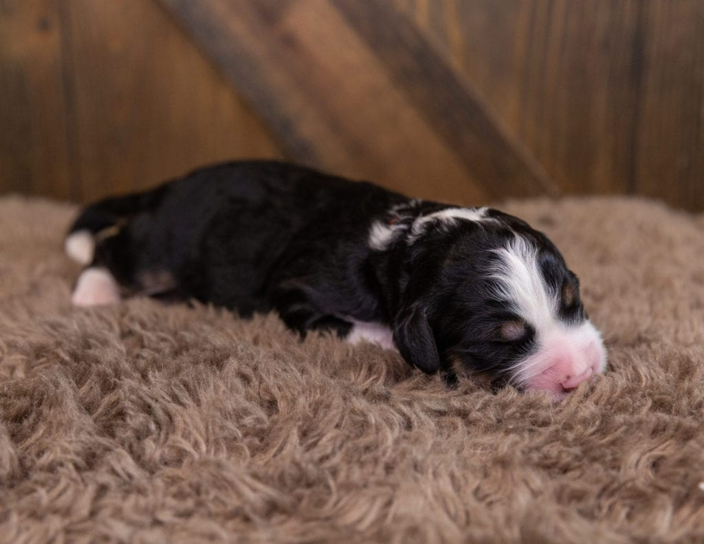 A picture of a Gizmo, one of our Standard Bernedoodles for sale