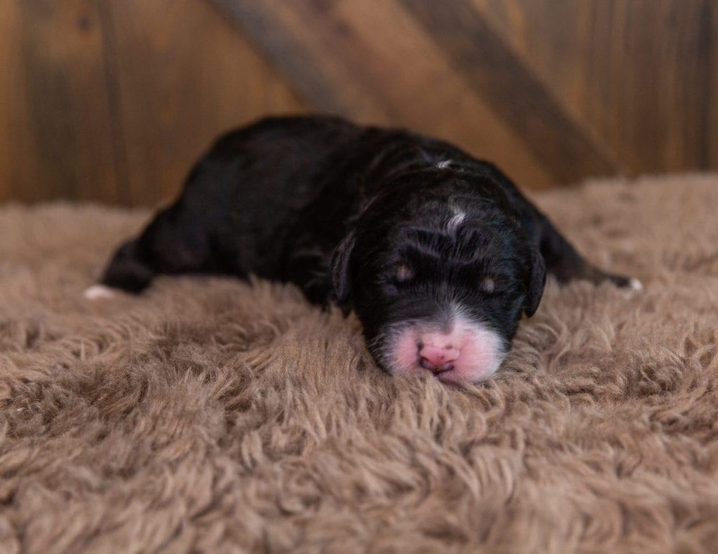 A picture of a Gordy, one of our Standard Bernedoodles for sale