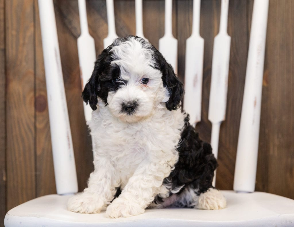 Happy is an F1B Sheepadoodle that should have  and is currently living in Minnesota