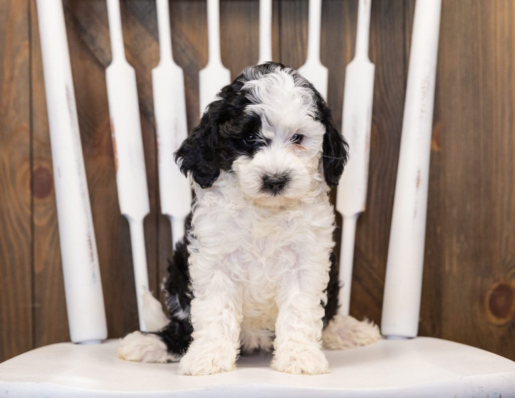 Happy came from Paris and Indy's litter of F1B Sheepadoodles