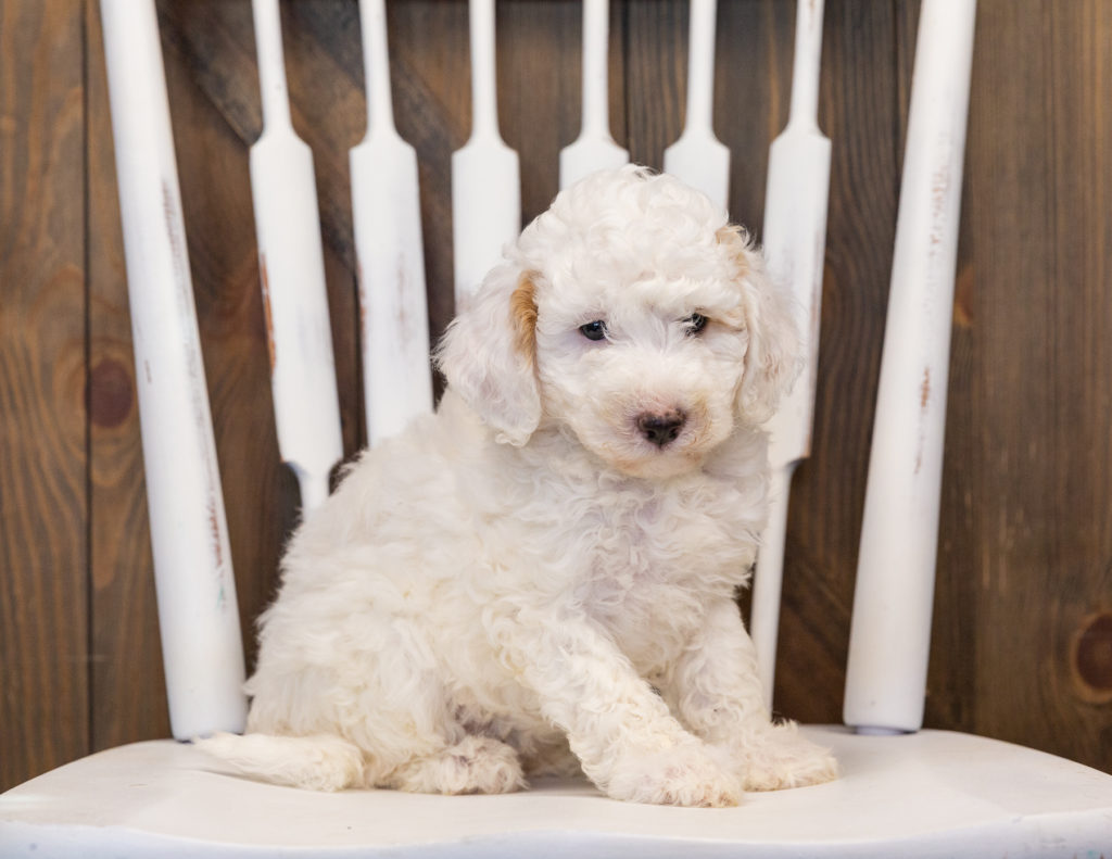 These Sheepadoodles were bred by Poodles 2 Doodles, their mother is Paris and their father is Indy