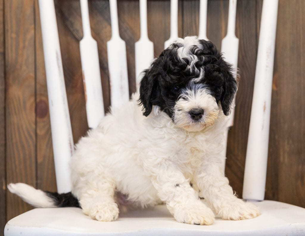 A picture of a Hilda, one of our Mini Sheepadoodles puppies that went to their home in Washington