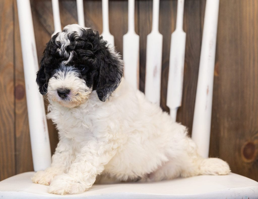 Hilda is an F1B Sheepadoodle that should have  and is currently living in Washington
