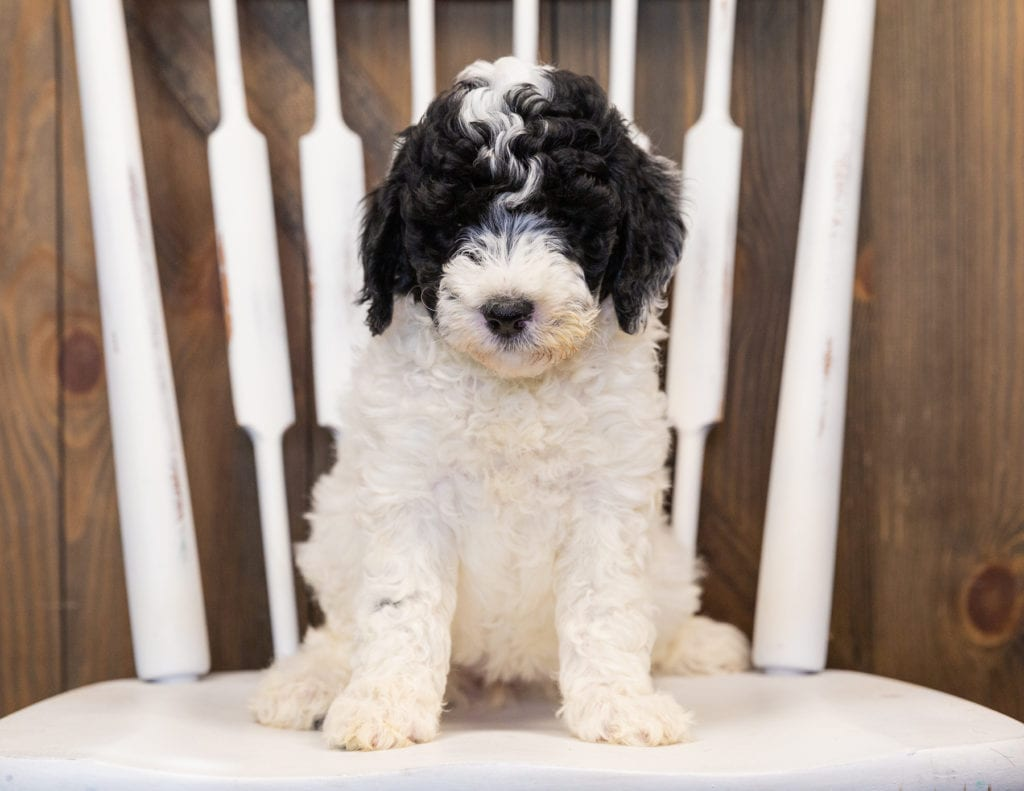 Hilda came from Paris and Indy's litter of F1B Sheepadoodles