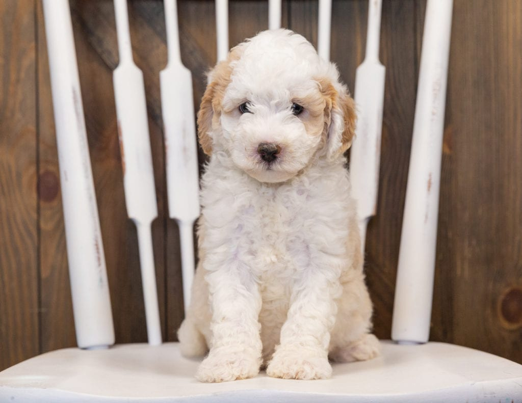 Hutch came from Paris and Indy's litter of F1B Sheepadoodles