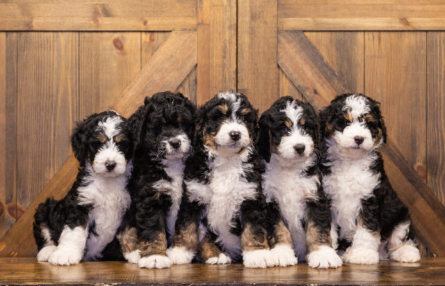 A litter of Standard Bernedoodles raised in Iowa by Poodles 2 Doodles