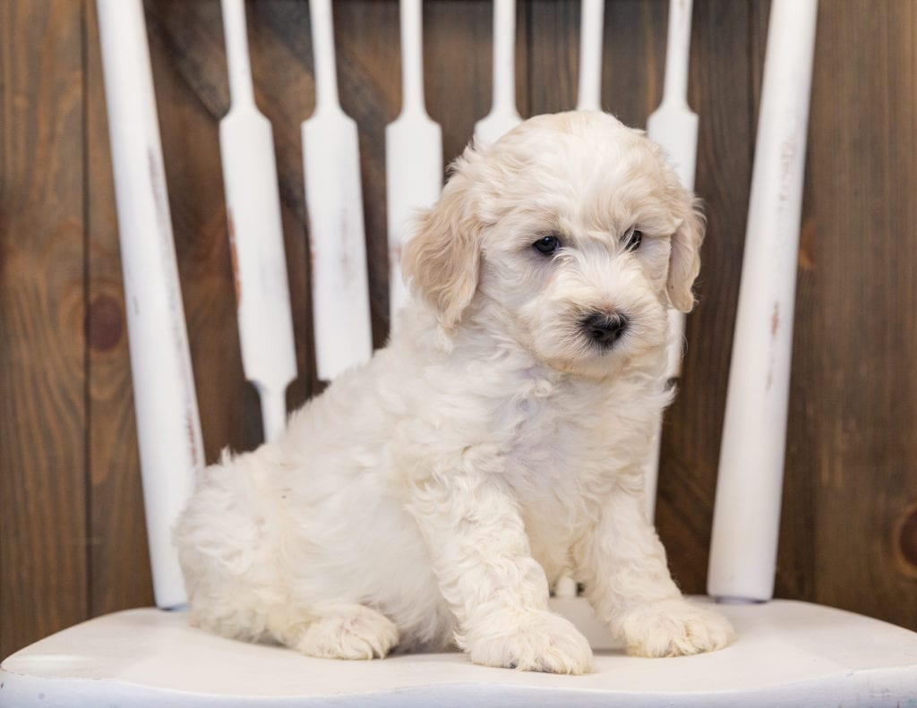 A picture of a Hatchy, one of our Mini Sheepadoodles puppies that went to their home in Nebraska