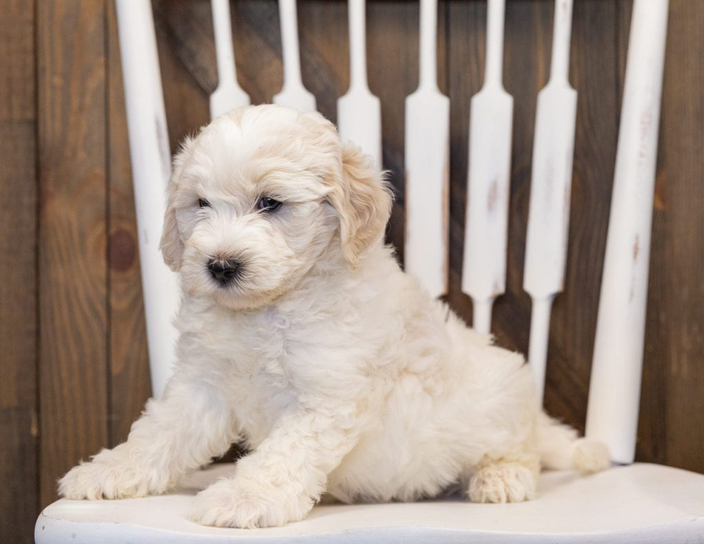 Hatchy is an F1B Sheepadoodle that should have  and is currently living in Nebraska