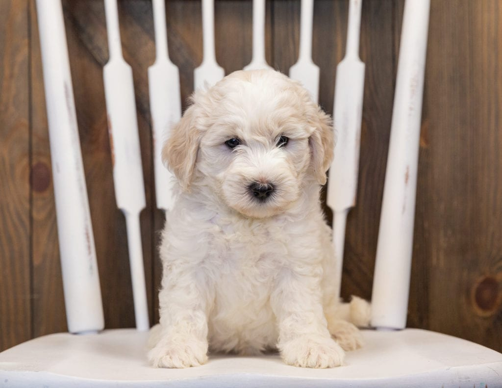 Hatchy came from Paris and Indy's litter of F1B Sheepadoodles