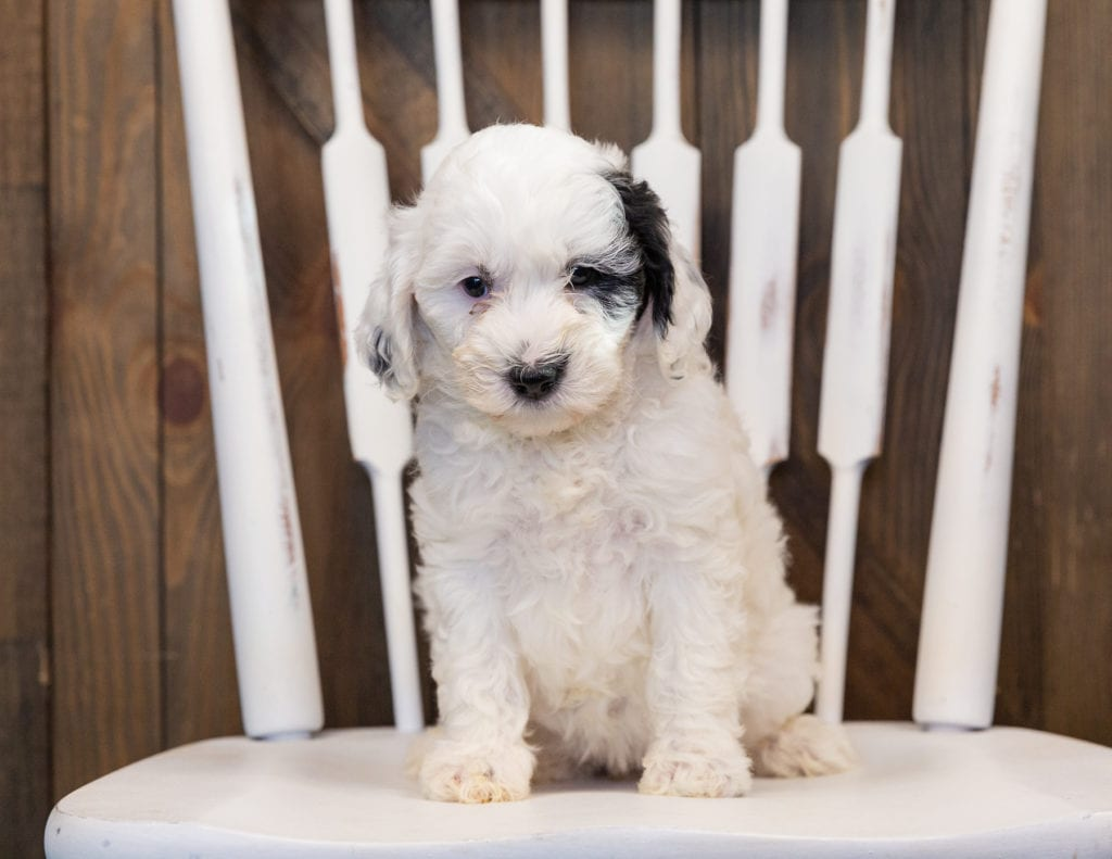 Hazel came from Paris and Indy's litter of F1B Sheepadoodles