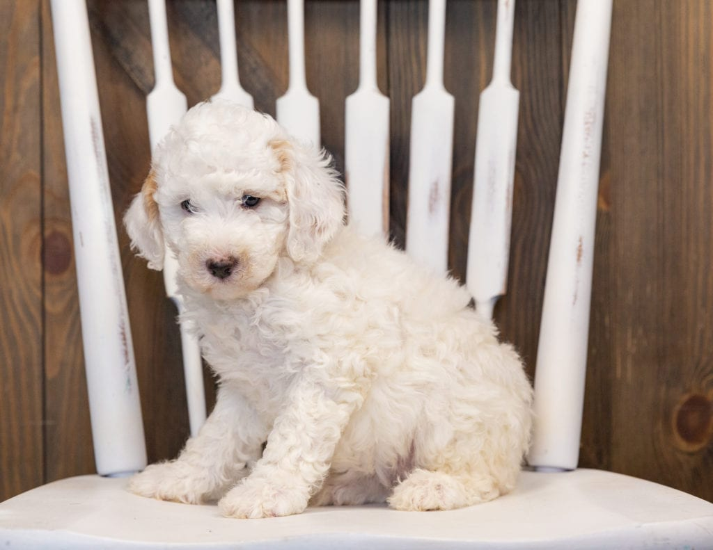 Hiedi is an F1B Sheepadoodle that should have  and is currently living in Montana