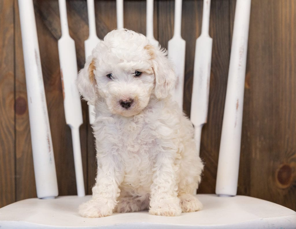 Hiedi came from Paris and Indy's litter of F1B Sheepadoodles