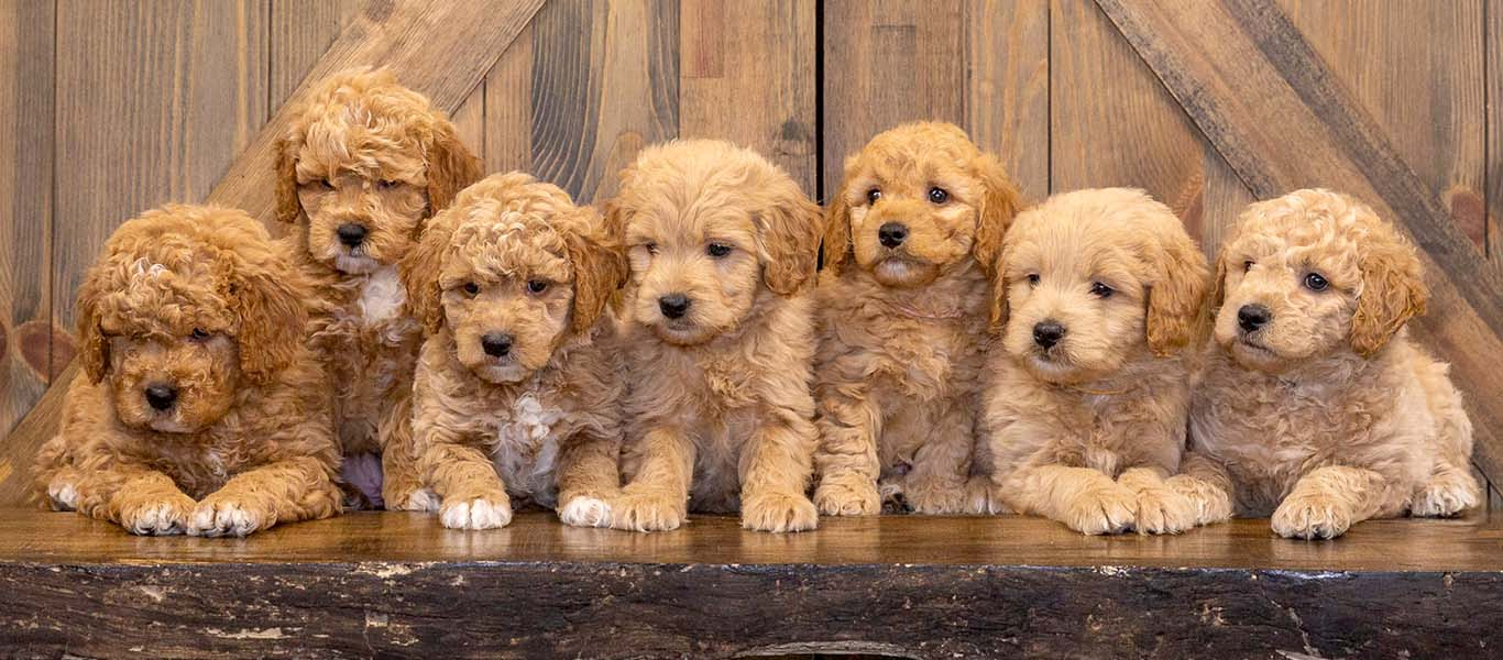 A Complete Guide To Goldendoodle Potty Training