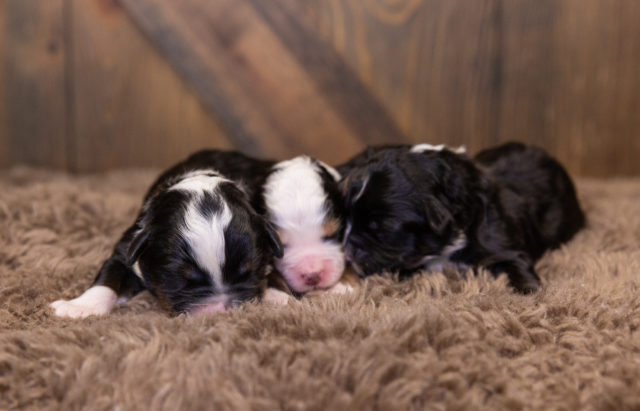 A Poodles 2 Doodles litter of  Bernedoodles raised in Iowa