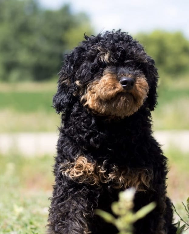 A picture of a Nash, one of our Mini Poodles puppies that went to their home in Minnesota