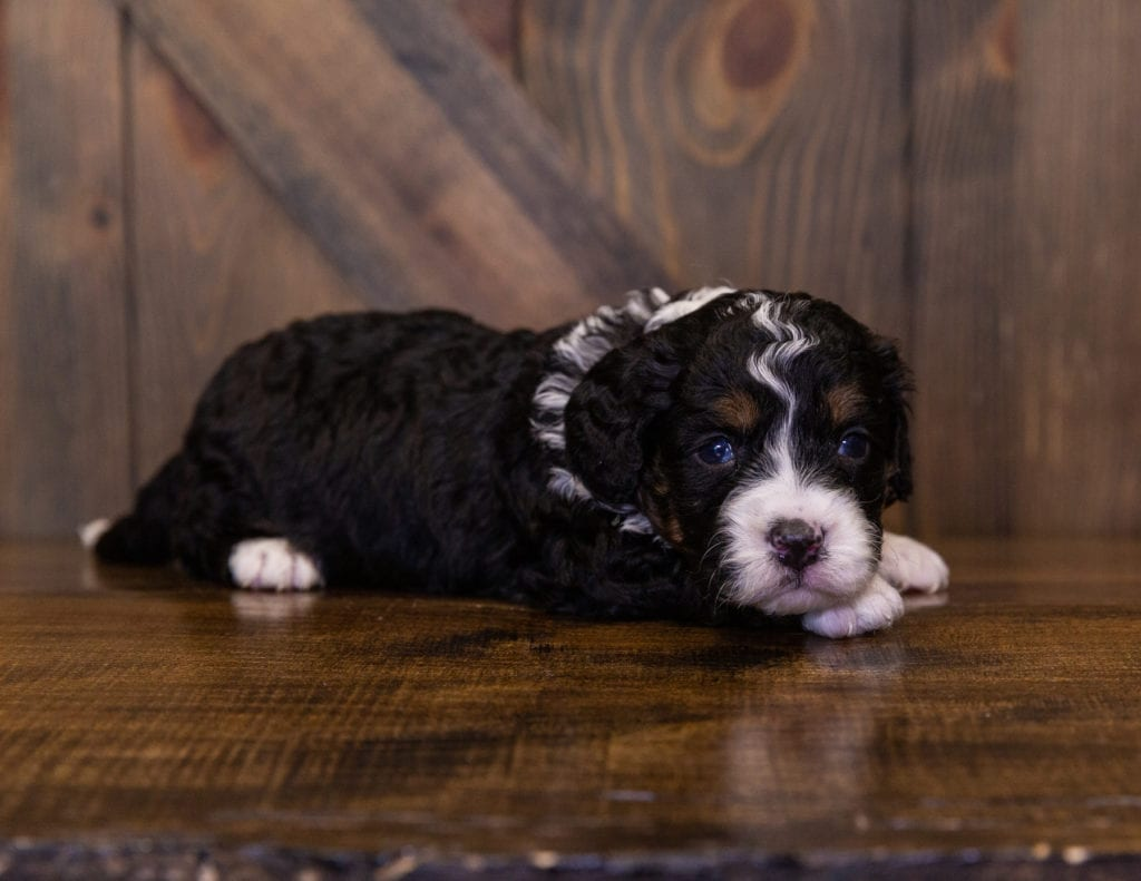 A picture of a India, one of our Mini Bernedoodles for sale