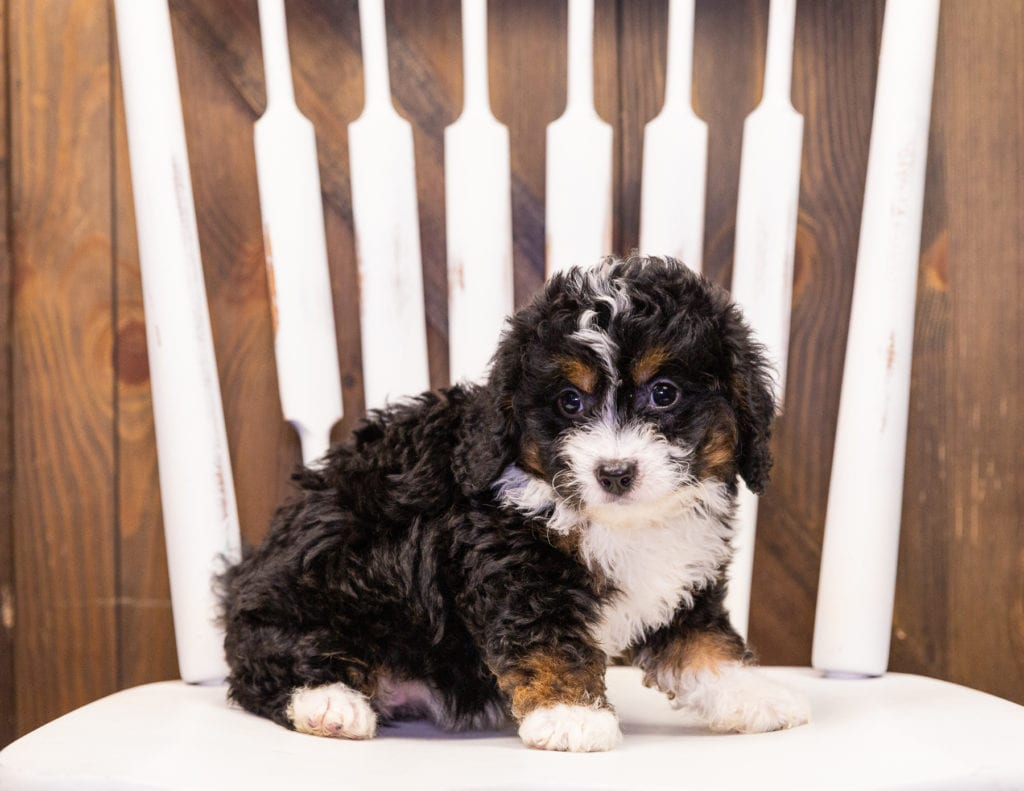 A picture of a India, one of our Mini Bernedoodles puppies that went to their home in Iowa