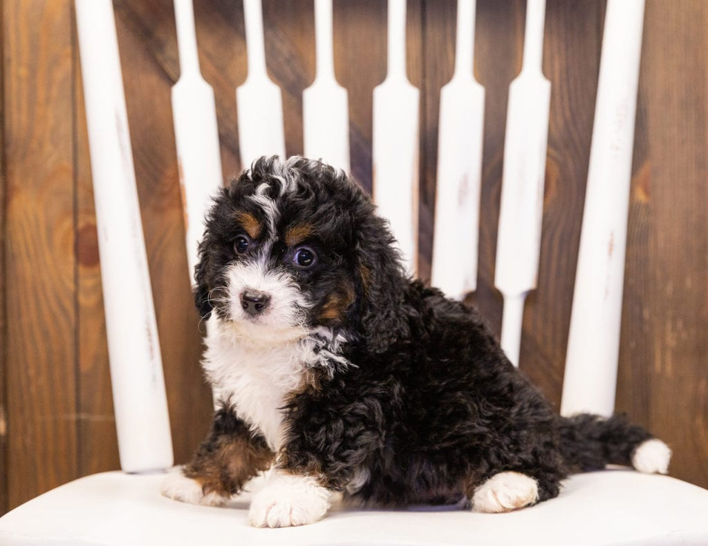 India is an F1 Bernedoodle that should have  and is currently living in Iowa