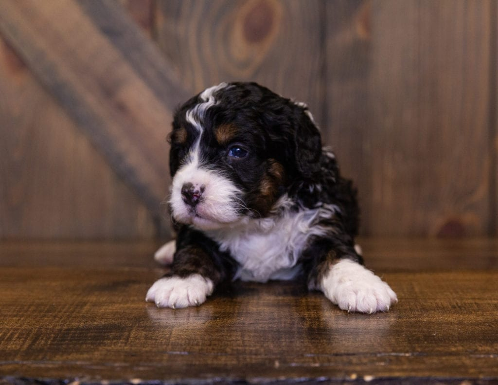India came from Della and Stanley's litter of F1 Bernedoodles