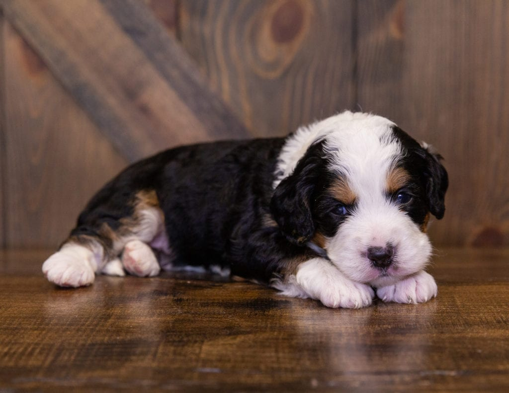 A picture of a Iona, one of our Mini Bernedoodles for sale