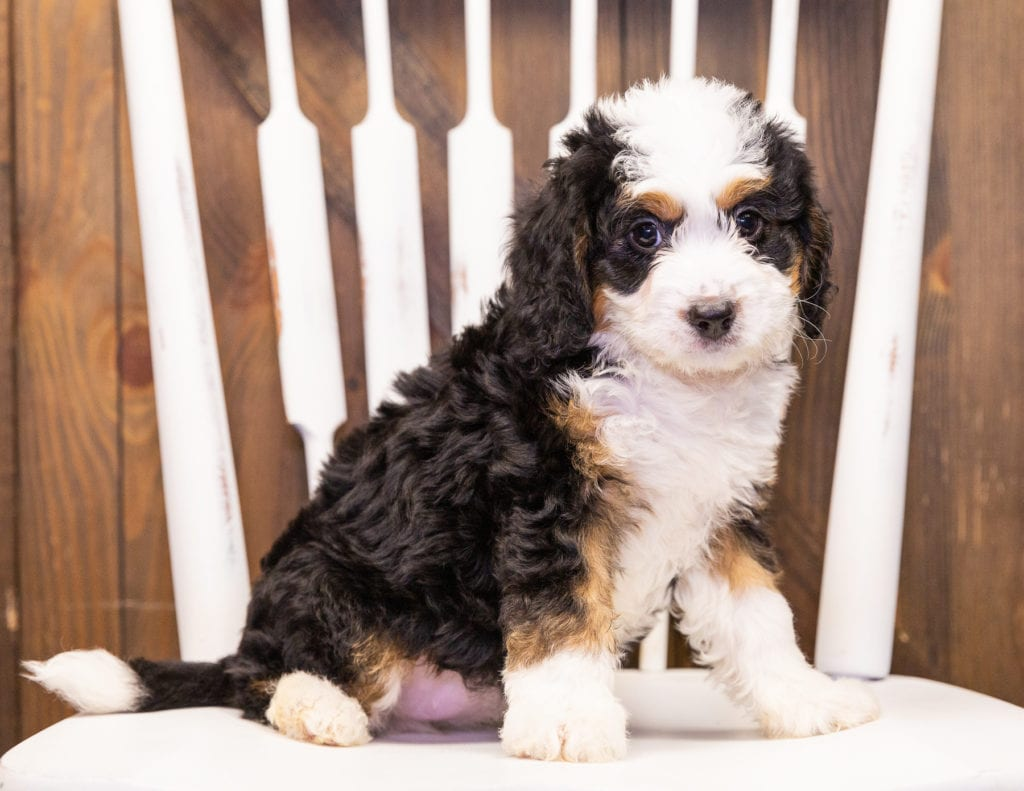 A picture of a Iona, one of our Mini Bernedoodles puppies that went to their home in Arizona