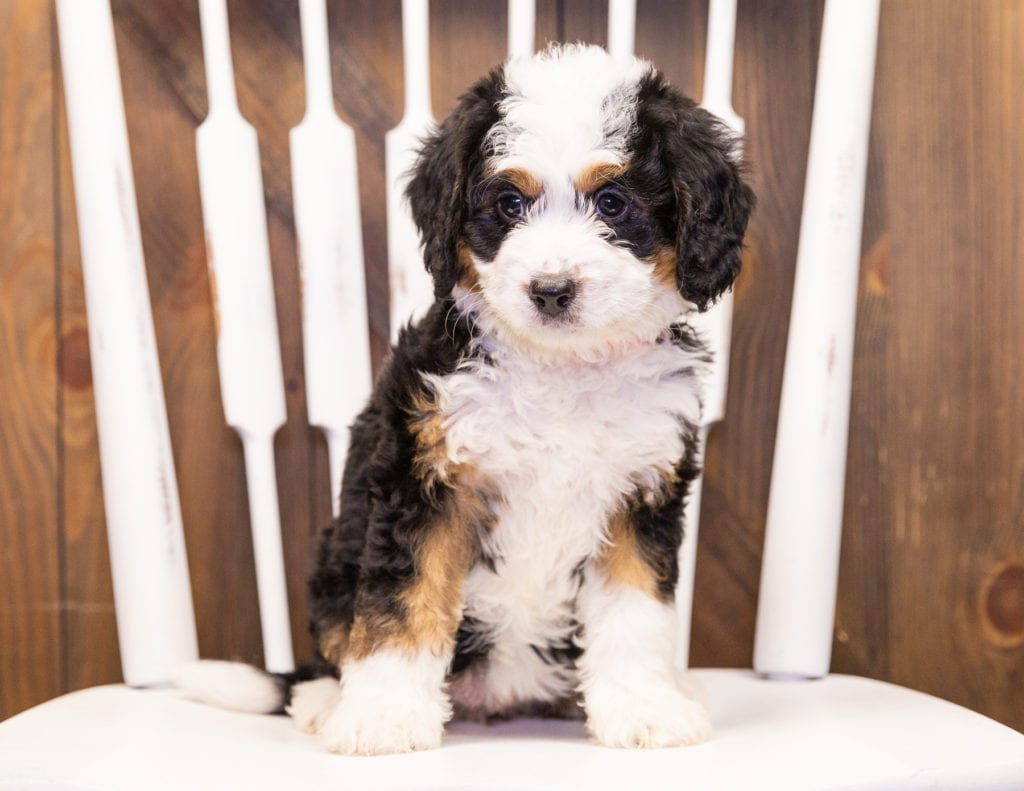 Iona came from Della and Stanley's litter of F1 Bernedoodles