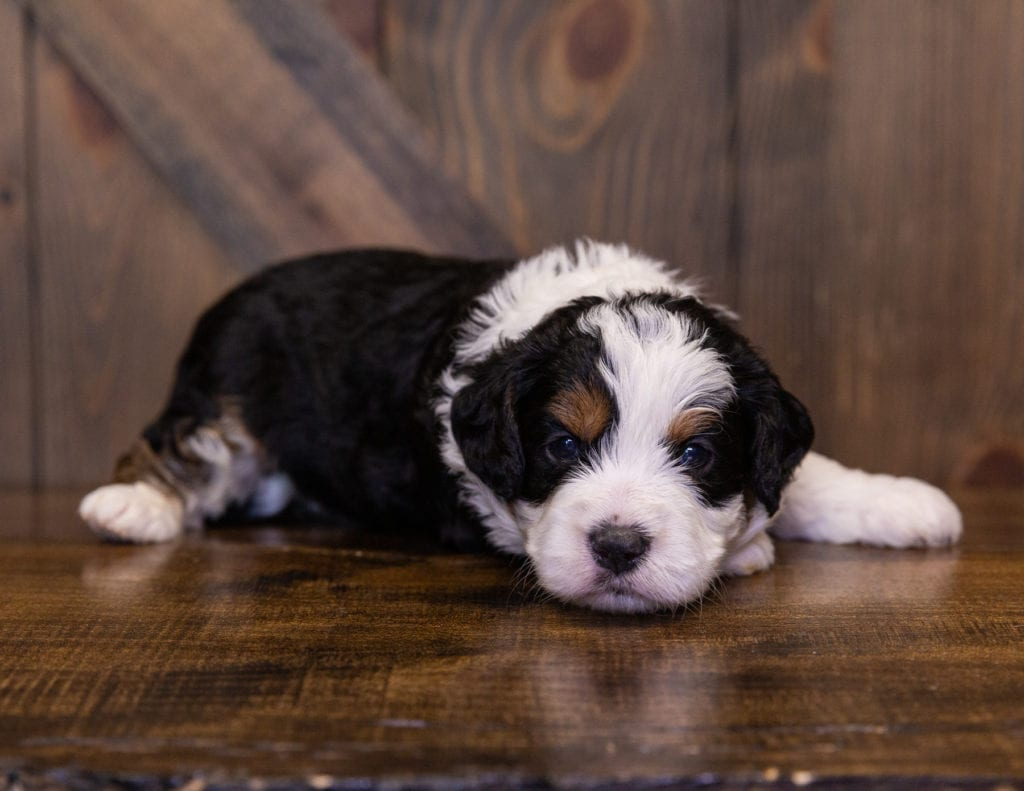 A picture of a Iris, one of our Mini Bernedoodles for sale