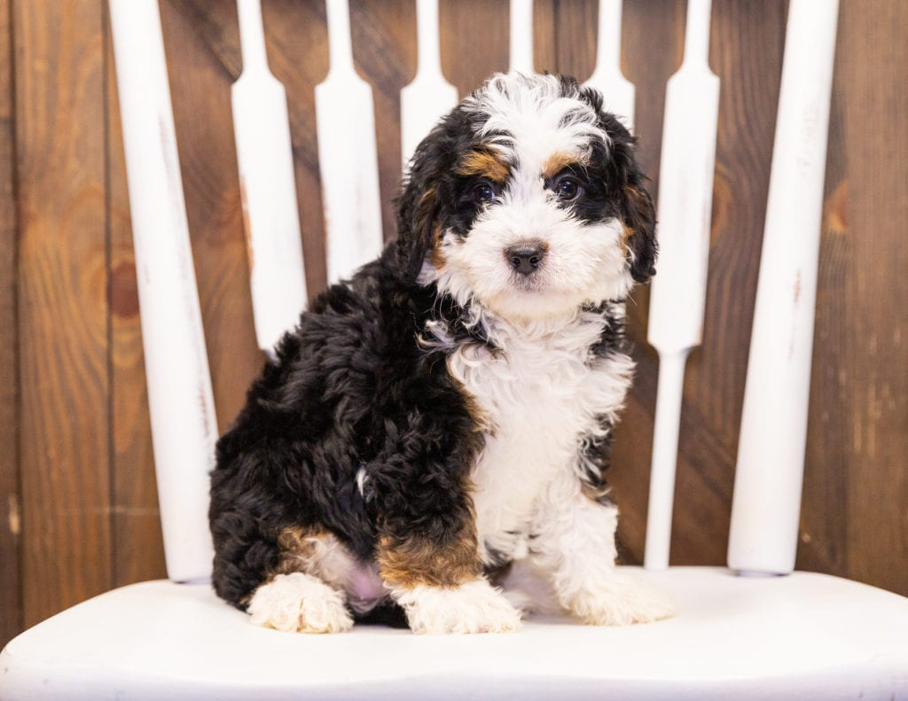 A picture of a Iris, one of our Mini Bernedoodles puppies that went to their home in Nebraska