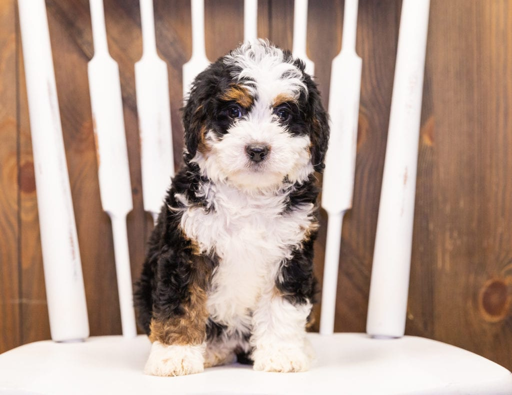 Iris came from Della and Stanley's litter of F1 Bernedoodles