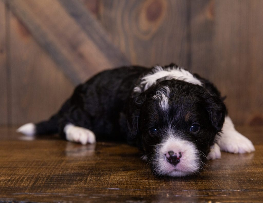 A picture of a Isaac, one of our Mini Bernedoodles for sale