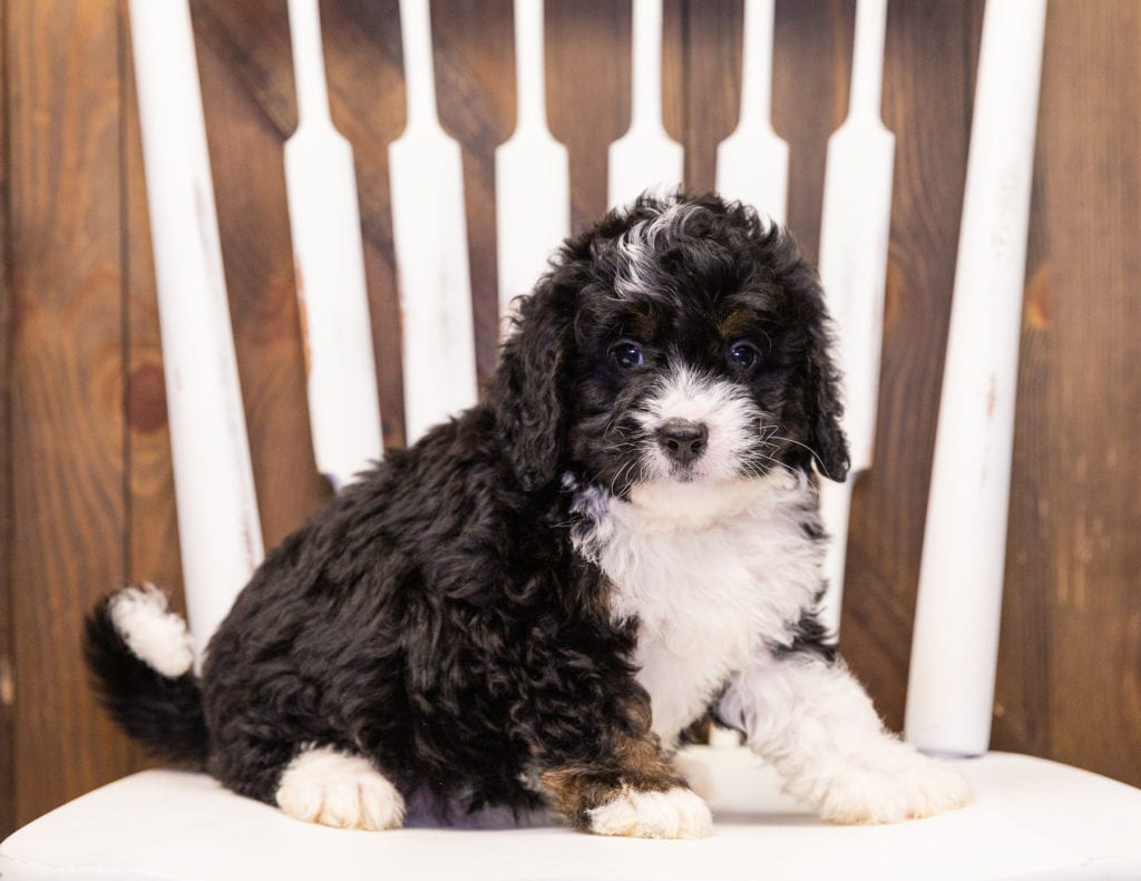 A picture of a Isaac, one of our Mini Bernedoodles puppies that went to their home in Nebraska