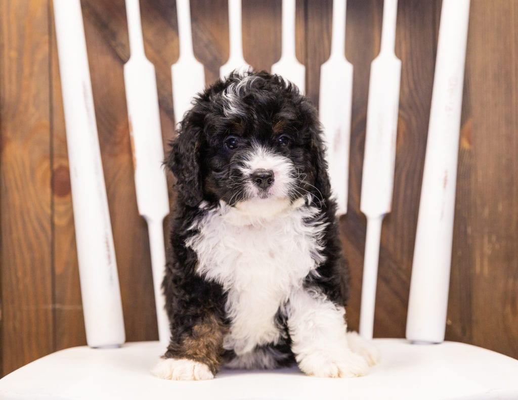 Isaac came from Della and Stanley's litter of F1 Bernedoodles
