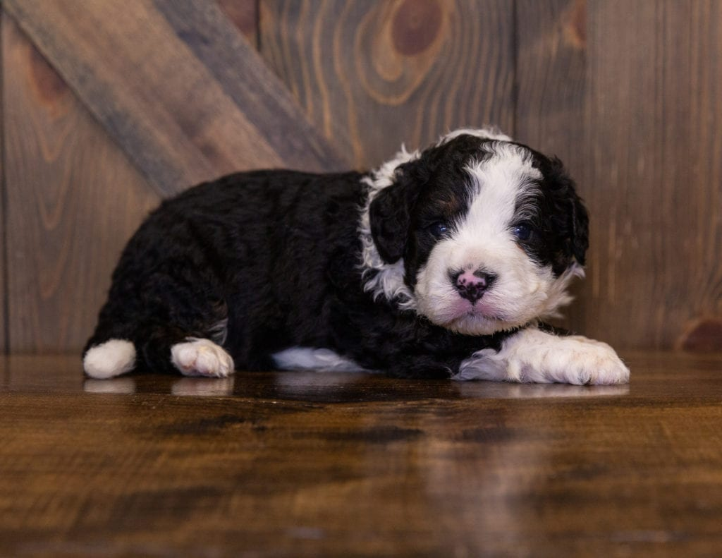A picture of a Ivan, one of our Mini Bernedoodles for sale