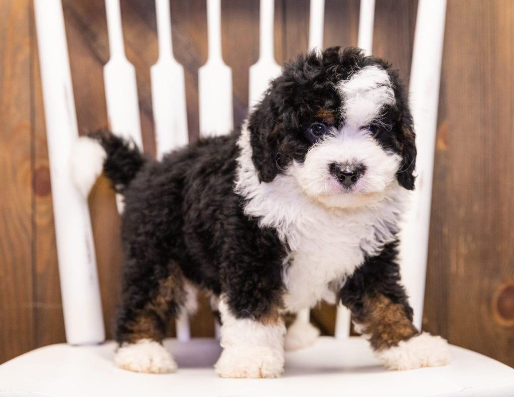 A picture of a Ivan, one of our Mini Bernedoodles puppies that went to their home in Minnesota