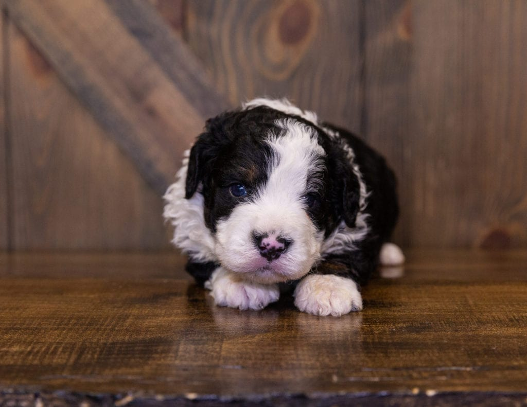Ivan came from Della and Stanley's litter of F1 Bernedoodles