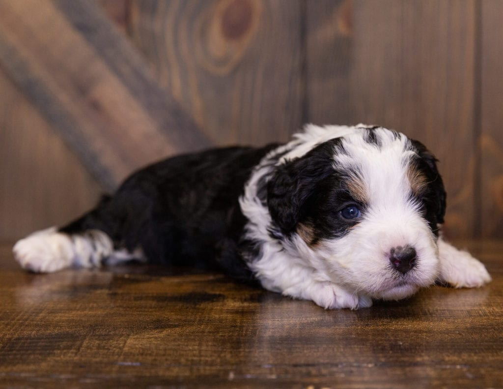 A picture of a Ivonne, one of our Mini Bernedoodles for sale