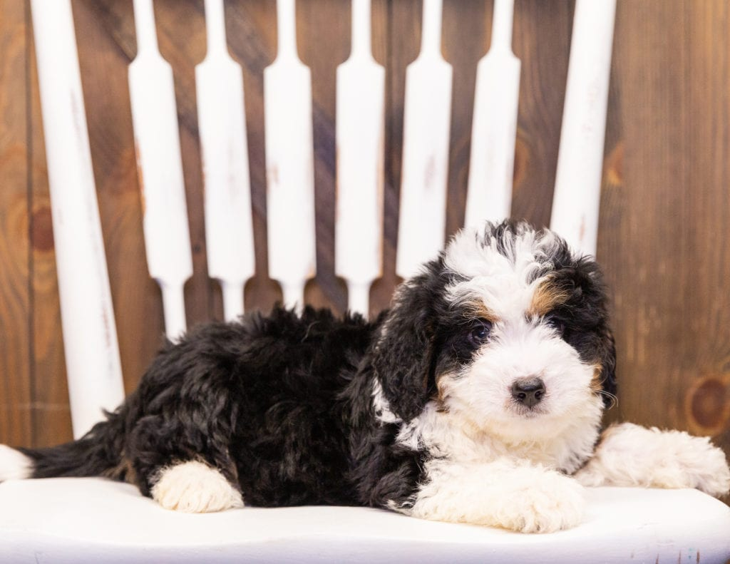 A picture of a Ivonne, one of our Mini Bernedoodles puppies that went to their home in Iowa