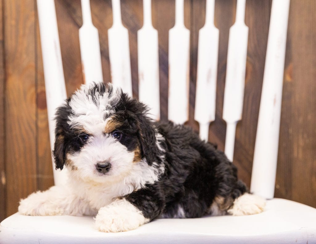 Ivonne is an F1 Bernedoodle that should have  and is currently living in Iowa