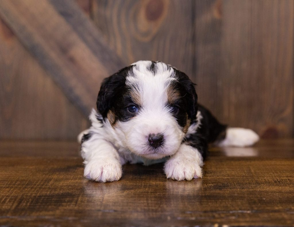 Ivonne came from Della and Stanley's litter of F1 Bernedoodles